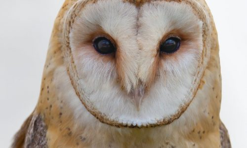 bird barn owl